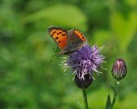 Pequeña mariposa de cobre en una flor púrpura Fotografía de archivo libre de regalías