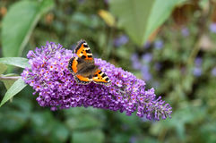 Pequeña mariposa de concha en la flor del Buddleia Foto de archivo