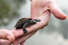 Pequeña tortuga del río Fotos de archivo libres de regalías