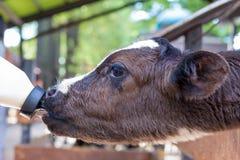 pequeña vaca que alimenta desde la botella de leche en granja Imagen de archivo libre de regalías