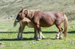 Pequeña yegua con su madre Fotos de archivo