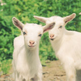 Pequeñas cabras sonrientes con efecto retro Imágenes de archivo libres de regalías