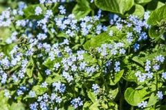 Pequeñas flores azules Imagenes de archivo