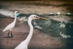 Pequeñas garcetas (garzetta del Egretta) a lo largo de la línea de la playa en Egipto Imagen de archivo libre de regalías