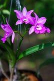 Pequeñas Marmaid Janet flores rosadas hermosas de Brassocatanthe Imagen de archivo libre de regalías