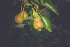 Pequeñas peras en rama Foto de archivo libre de regalías