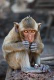 Pequeñas sentada y consumición lindas del mono Foto de archivo