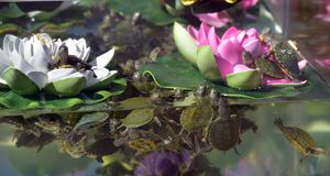 Pequeñas tortugas en el acuario Imagenes de archivo