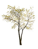 Pequena árvore de bordo isolada única mola Fotos de Stock Royalty Free