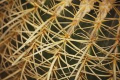 Pequena notícia macro Grusonii Hildm de Echinocactus (cacto de tambor dourado, bola dourada, o coxim das Mather-em-leis) Fotos de Stock Royalty Free