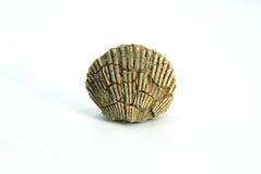 Pequeno pecten o shell, fóssil, fundo branco Imagem de Stock Royalty Free