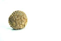 Pequeno pecten o shell, fóssil, fundo branco Fotos de Stock Royalty Free
