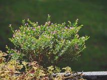 Pequeño arbusto Foto de archivo libre de regalías