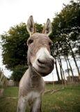 Pequeño burro gris Imagen de archivo
