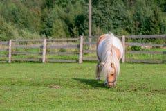 Pequeño caballo miniatura Fotografía de archivo