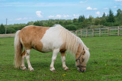 Pequeño caballo miniatura que pasta en pasto Imagen de archivo libre de regalías