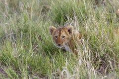 Pequeño cachorro de león que oculta en la hierba de la sabana africana Imagen de archivo