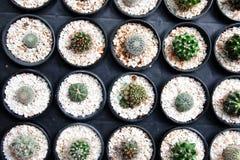 Pequeño cactus en los potes negros, pocas plantas de desierto Imágenes de archivo libres de regalías