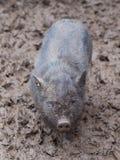 Pequeño cochinillo del orf del cerdo del negro de Vietnam totalmente sucio en el fango en la granja después de la lluvia Foto de archivo libre de regalías