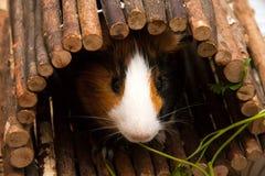 Pequeño conejillo de Indias curioso que come las hojas del perejil Imagen de archivo libre de regalías
