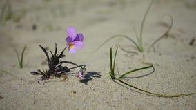Pequeño crecimiento de flor en la arena almacen de metraje de vídeo