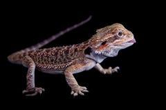 Pequeño dragón barbudo aislado en negro Foto de archivo libre de regalías