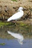 Pequeño Egret Imagenes de archivo