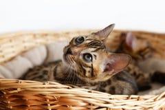 Pequeño gatito de Bengala Fotos de archivo libres de regalías