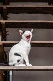 Pequeño gatito de bostezo Fotos de archivo libres de regalías