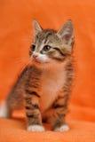 Pequeño gatito rayado Imagen de archivo