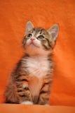 Pequeño gatito rayado Foto de archivo libre de regalías