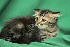 Pequeño gatito siberiano con una mirada asustada Foto de archivo