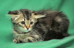 Pequeño gatito siberiano con una mirada asustada Imágenes de archivo libres de regalías