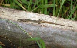 Pequeño lagarto Imagen de archivo libre de regalías