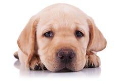 Pequeño perrito triste del perro perdiguero de Labrador Fotografía de archivo