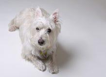 Pequeño perro blanco que coloca Fotografía de archivo libre de regalías