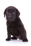 Pequeño perro de perrito triste del labrador retriever Foto de archivo