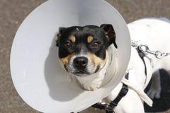 Pequeño perro que desgasta un cono Imágenes de archivo libres de regalías