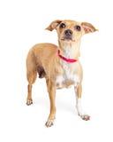Pequeño perro que se coloca de mirada para arriba sobre blanco Fotos de archivo libres de regalías