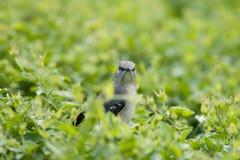 Pequeño pájaro curioso rodeado por las hojas verdes Imagen de archivo libre de regalías