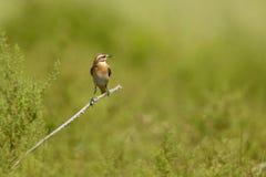 Pequeño pájaro marrón Fotos de archivo