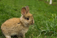 Pequeño primer gris del conejo que se coloca en la hierba Imagen de archivo libre de regalías