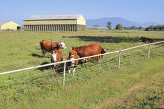 Pequeño rebaño lechero en pasto de la granja Fotografía de archivo libre de regalías