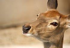 Pequeños ciervos de Brown Fotografía de archivo libre de regalías