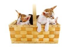 Pequeños gatos en cesta Imagenes de archivo