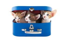 Pequeños gatos en cesta Foto de archivo libre de regalías