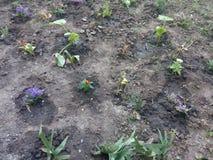 Pequeños grupos de flores coloridas en la tierra negra en el macizo de flores de la ciudad Fotos de archivo