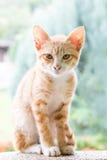 Pequeños marrón y blanco de Kitten Light del gato Imagen de archivo