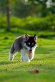 Pequeños perros Foto de archivo libre de regalías