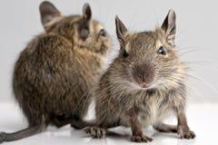 Pequeños roedores Imagen de archivo libre de regalías